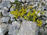 Planinska homulica (Sedum alpestre)