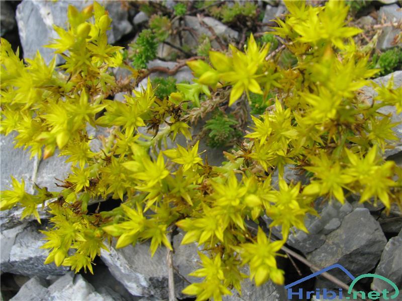 Planinska homulica (Sedum alpestre) - PicturePlaninska homulica (Sedum alpestre)