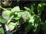 Zajčicolistna škržolica (Hieracium prenanthoides)