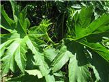 Pollinijev dežen (Heracleum pollinianum)