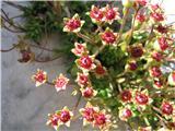 Saxifraga sedoides