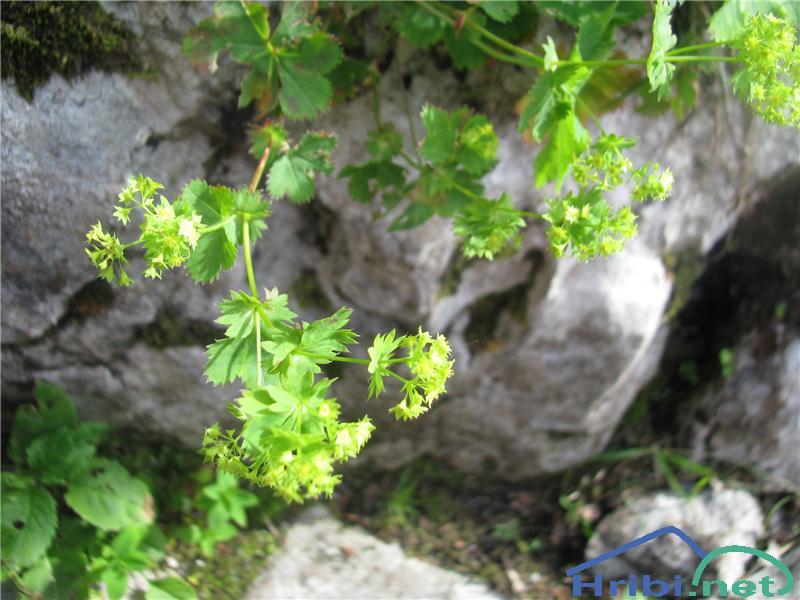 Plahtica (Alchemilla sp.) - SlikaPlahtica (Alchemilla sp.)