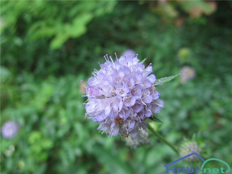 Travniška izjevka (Succisa pratensis) - PictureTravniška izjevka (Succisa pratensis)