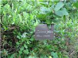 Zelena jelša (Alnus viridis)