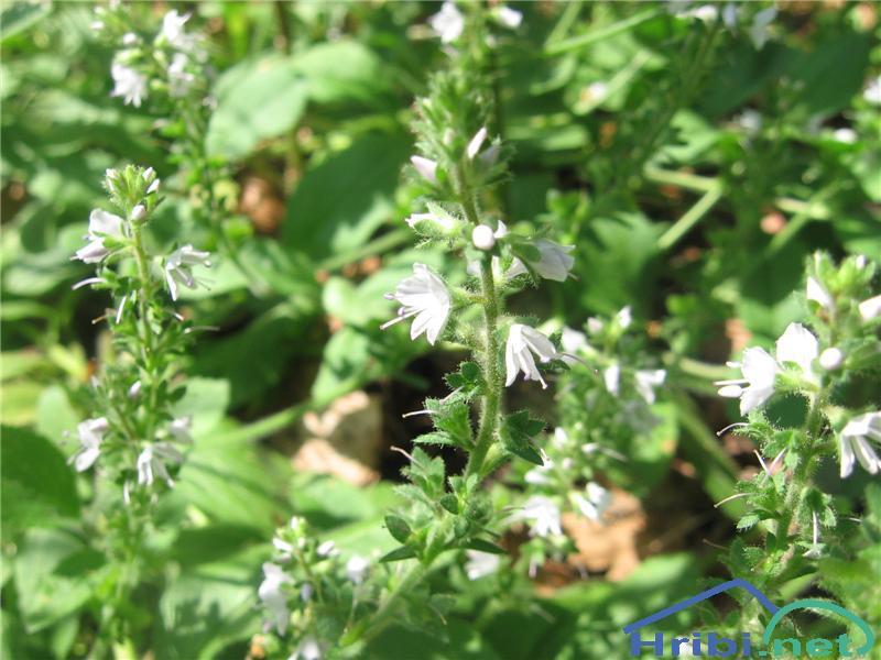 Grmičasti jetičnik (Veronica fruticulosa) - SlikaGrmičasti jetičnik (Veronica fruticulosa)