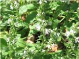 Grmičasti jetičnik (Veronica fruticulosa)