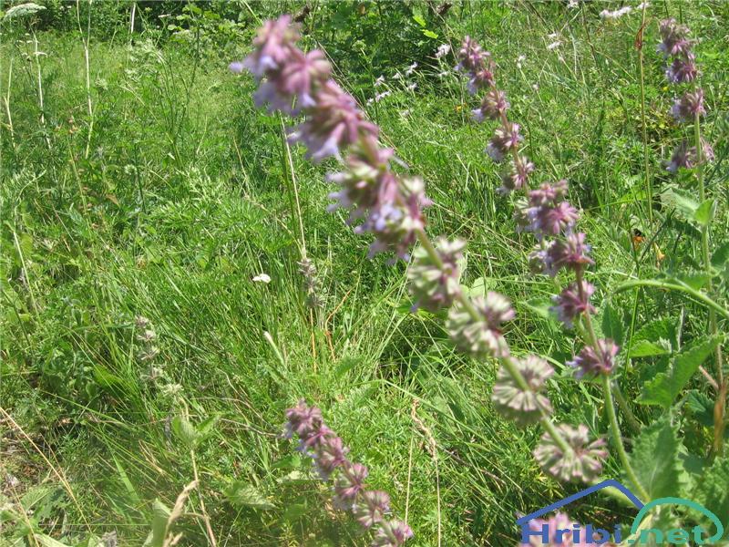 Vretenčasta kadulja (Salvia verticillata) - SlikaVretenčasta kadulja (Salvia verticillata)