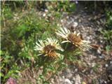 Navadna kompava (Carlina vulgaris)