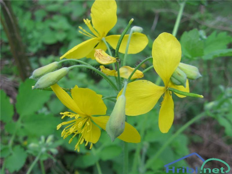 Krvavi mlečnik (Chelidonium majus) - PictureKrvavi mlečnik (Chelidonium majus)