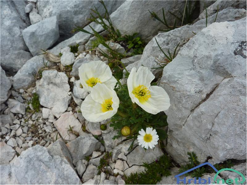 Julijski mak (Papaver alpinum ssp. ernesti-mayeri) - PictureJulijski mak (Papaver alpinum ssp. ernesti-mayeri), foto Zlatica.