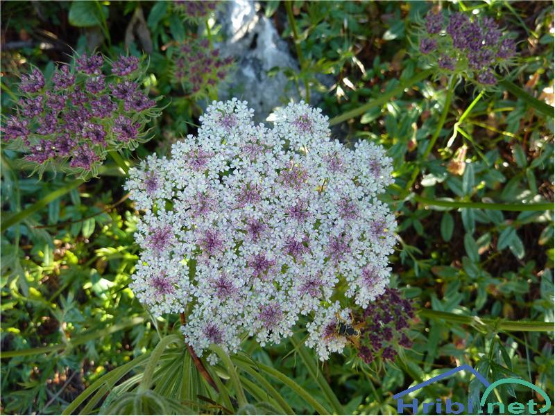 Navadna zdravilka (Libanotis sibirica) - PictureNavadna zdravilka (Libanotis sibirica), foto Zlatica.