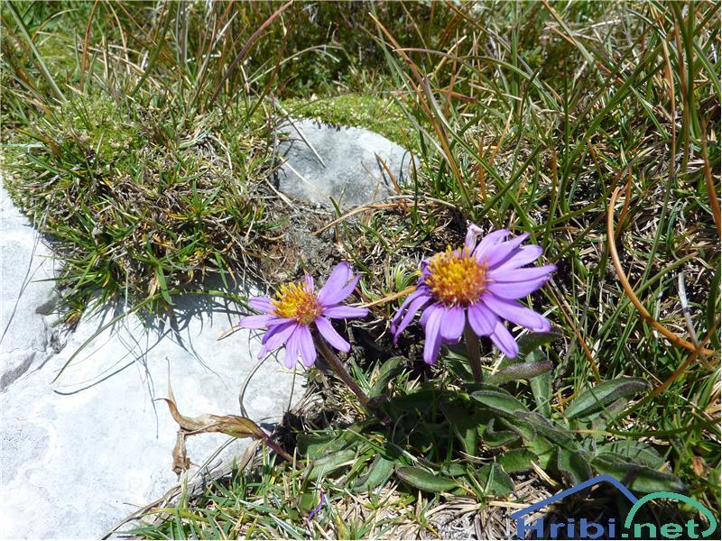 Alpska nebina (Aster alpinus) - SlikaAlpska nebina (Aster alpinus), foto Zlatica.