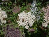 Libanotis sibirica