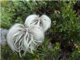 Alpska velesa (Dryas octopetala)