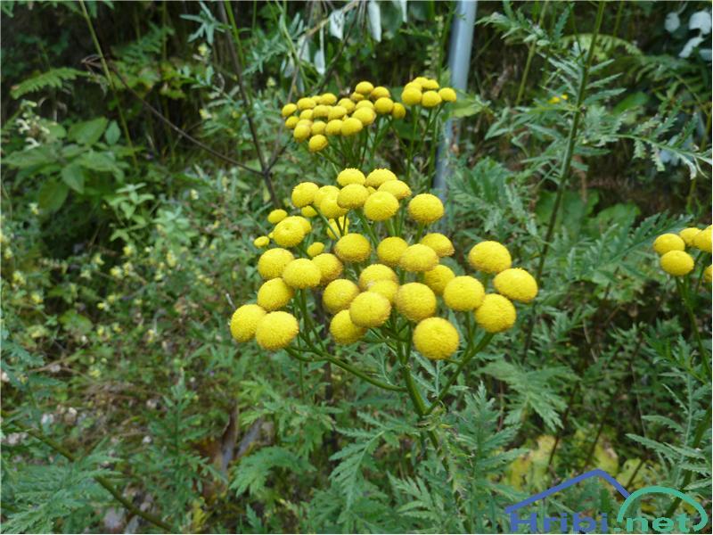 Navadni vratič (Tanacetum vulgare) - PictureNavadni vratič (Tanacetum vulgare), foto Zlatica.