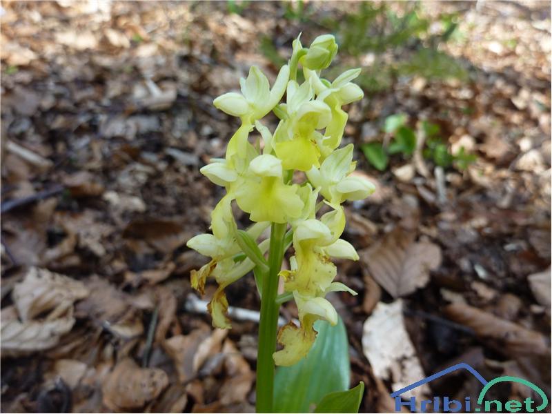 Bleda kukavica (Orchis pallens) - SlikaBleda kukavica (Orchis pallens), foto Zlatica.