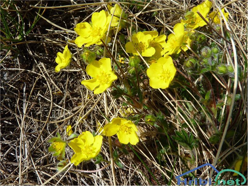 Sedmerolistni petoprstnik (Potentilla heptaphylla) - PictureSedmerolistni petoprstnik (Potentilla heptaphylla), foto Zlatica.