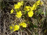 Sedmerolistni petoprstnik (Potentilla heptaphylla)