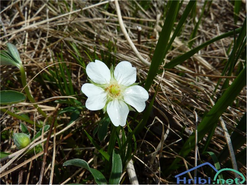 Beli petoprstnik (Potentilla alba) - SlikaBeli petoprstnik (Potentilla alba), foto Zlatica.