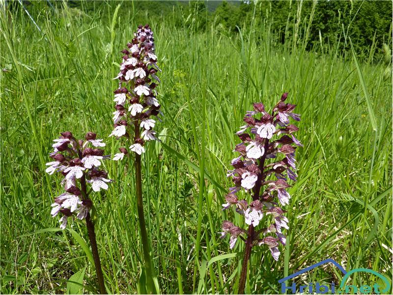 Škrlatnordeča kukavica (Orchis purpurea) - SlikaŠkrlatnordeča kukavica (Orchis purpurea), foto Zlatica.