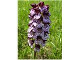 Škrlatnordeča kukavica (Orchis purpurea)