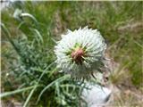 Mehkodlakava jurjevina (Jurinea mollis)