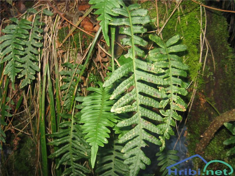Navadna sladka koreninica (Polypodium vulgare) - SlikaNavadna sladka koreninica (Polypodium vulgare)