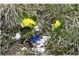 Ratitovecšopek planinskega cvetja