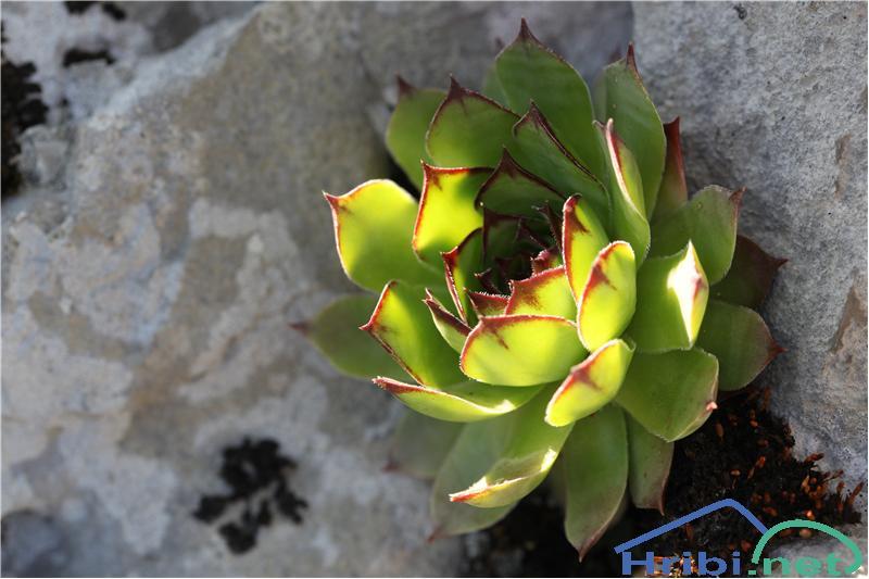 Navadni netresk (Sempervivum tectorum) - PictureNavadni netresk (Sempervivum tectorum), foto B.C.