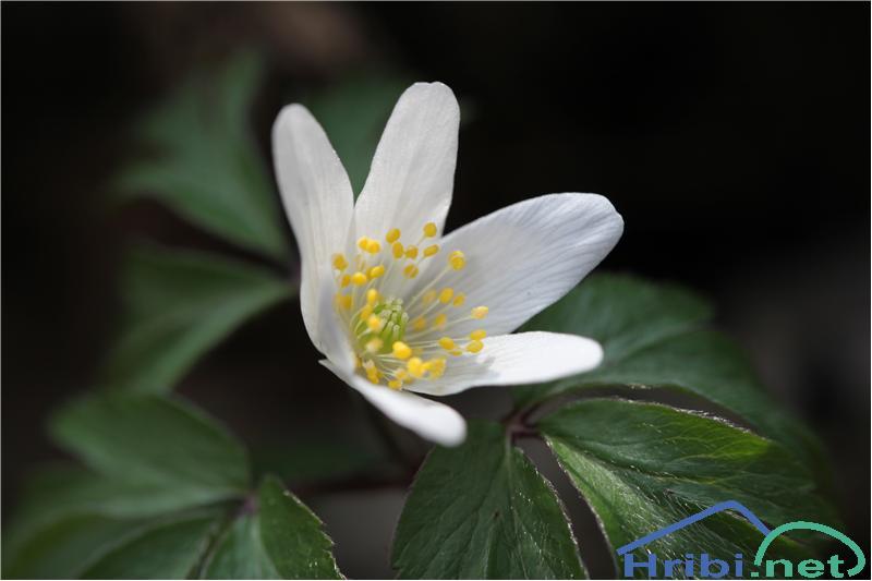 Podlesna vetrnica (Anemone nemorosa) - SlikaPodlesna vetrnica (Anemone nemorosa), foto B.C.
