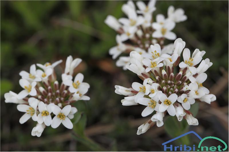 Rani mošnjak (Thlaspi praecox) - PictureRani mošnjak (Thlaspi praecox), foto B.C.