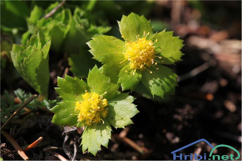 Tevje (Hacquetia epipactis) - PictureTevje (Hacquetia epipactis), foto B.C.