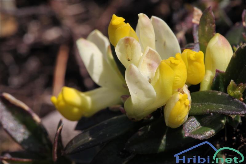 Žanjevec (Polygala Chamaebuxus) - PictureŽanjevec (Polygala Chamaebuxus), foto B.C.