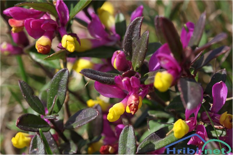 Žanjevec (Polygala Chamaebuxus) - SlikaŽanjevec (Polygala Chamaebuxus), foto B.C.