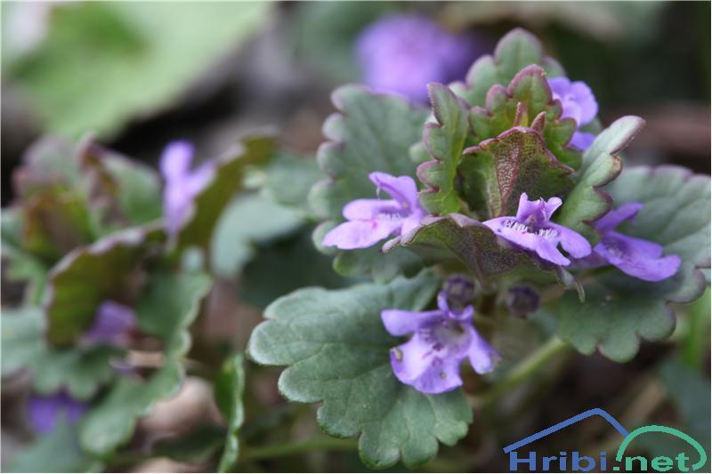 Bršljanasta grenkuljica (Glechoma hederacea) - SlikaBršljanasta grenkuljica (Glechoma hederacea), foto B.C.