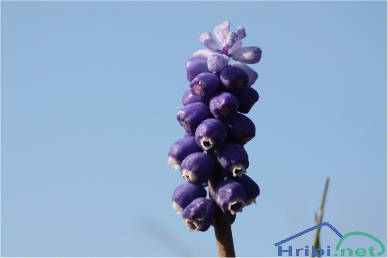 Grozdasta hrušica (Muscari neglectum) - PictureGrozdasta hrušica (Muscari neglectum), foto B.C.