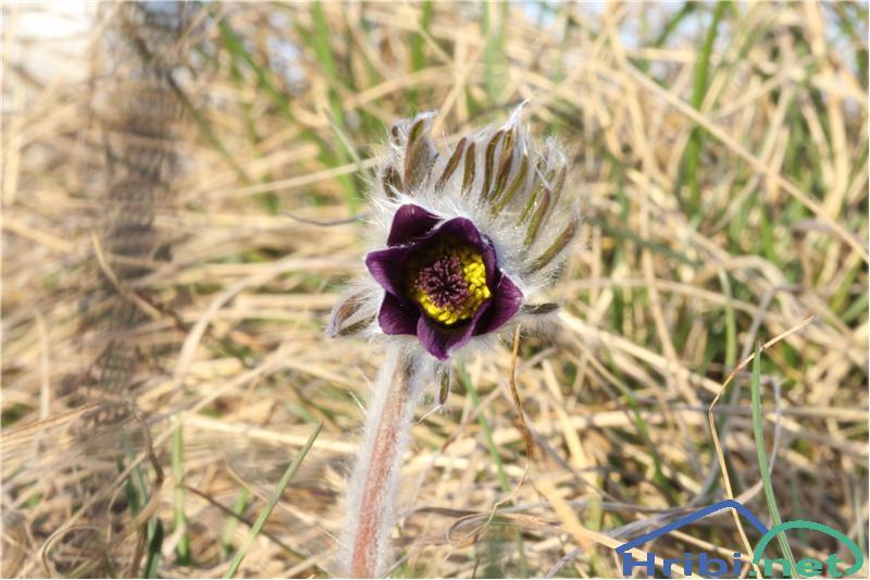Gorski kosmatinec (Pulsatilla montana) - PictureGorski kosmatinec (Pulsatilla montana), foto B.C.