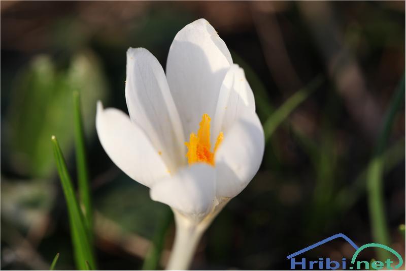 Beli žafran ali nunka (Crocus vernus albiflorus) - SlikaBeli žafran (Crocus vernus albiflorus), foto B.C.