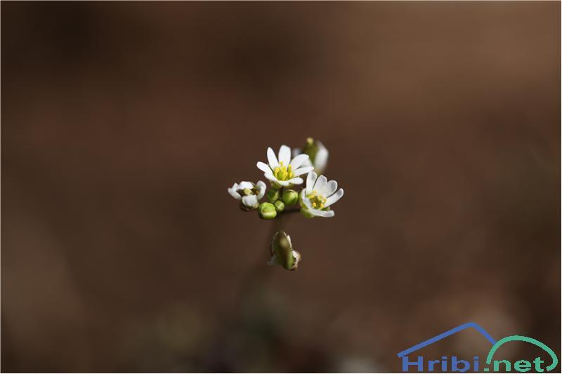 Spomladanska kokošnica (Erophila verna) - SlikaSpomladanska kokošnica (Erophila verna), foto B.C.