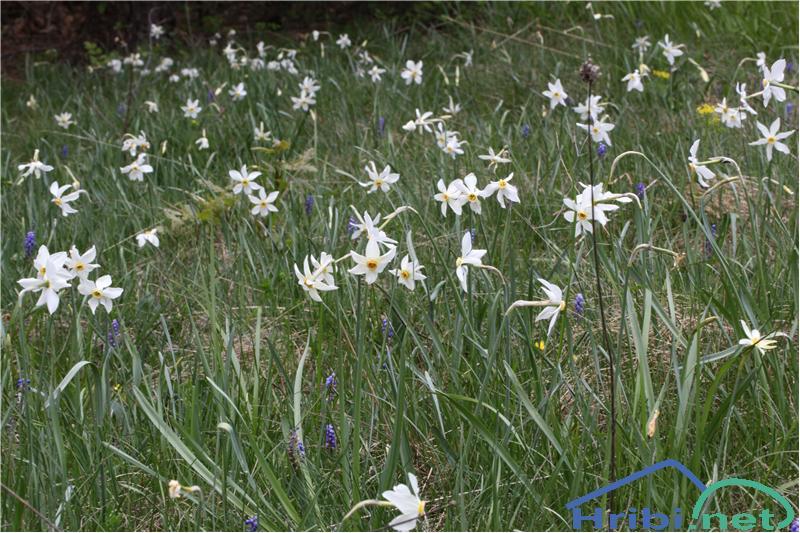 Gorski narcis (Narcissus poeticus radiiflorus) - SlikaGorski narcis (Narcissus poeticus radiiflorus), foto B.C.