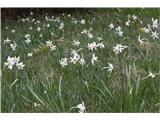 Gorski narcis (Narcissus poeticus radiiflorus)