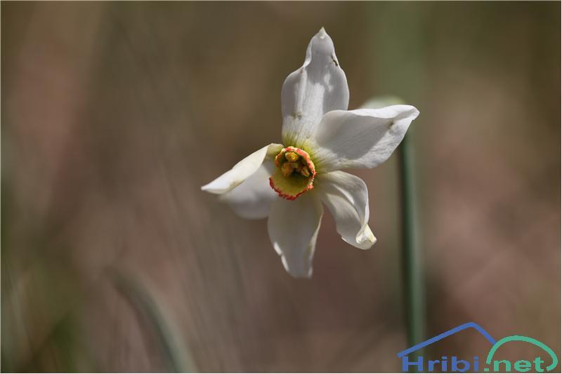 Gorski narcis (Narcissus poeticus radiiflorus) - PictureGorski narcis (Narcissus poeticus radiiflorus), foto B.C.