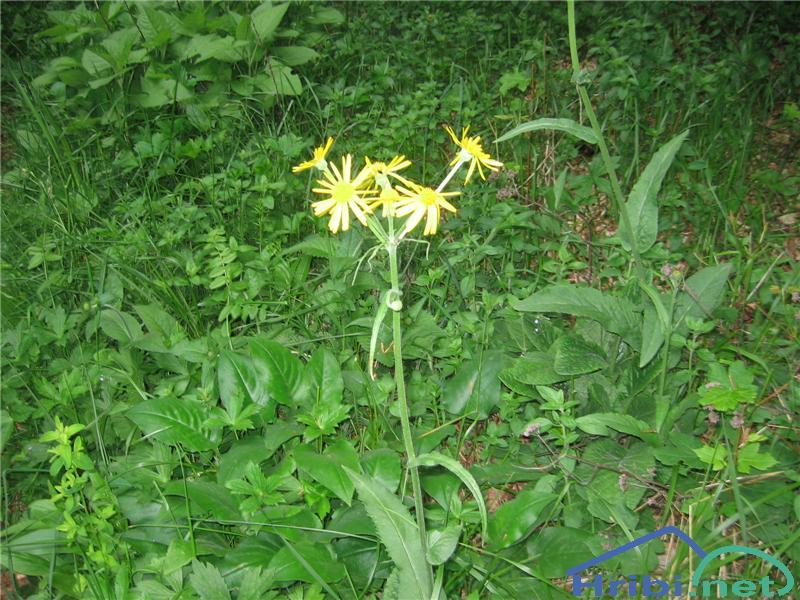 Potočna sivica (Tephroseris crispa) - SlikaPotočna sivica (Tephroseris crispa)