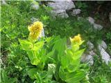 Rumeni svišč ali košutnik (Gentiana lutea)