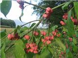 Navadna trdoleska (Euonymus europaea)