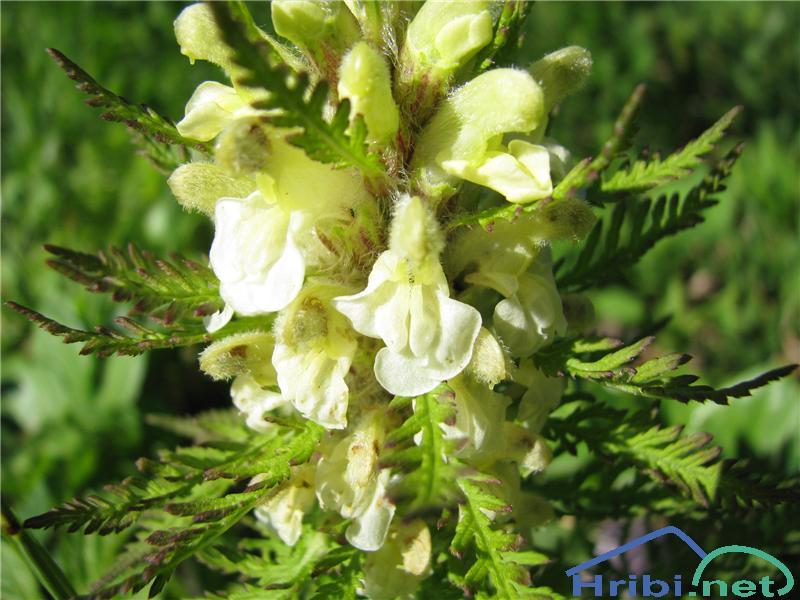 Bosenski ušivec (Pedicularis hoerminniana) - SlikaBosenski ušivec (Pedicularis hoerminniana)