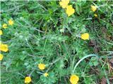 Gomoljasta zlatica (Ranunculus bulbosus)