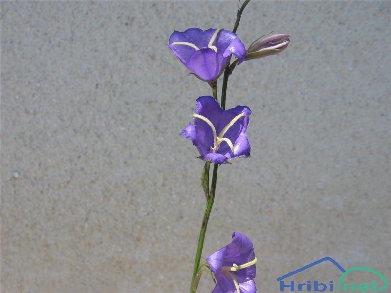Breskovolistna zvončica (Campanula persicifolia) - PictureBreskovolistna zvončica (Campanula persicifolia)