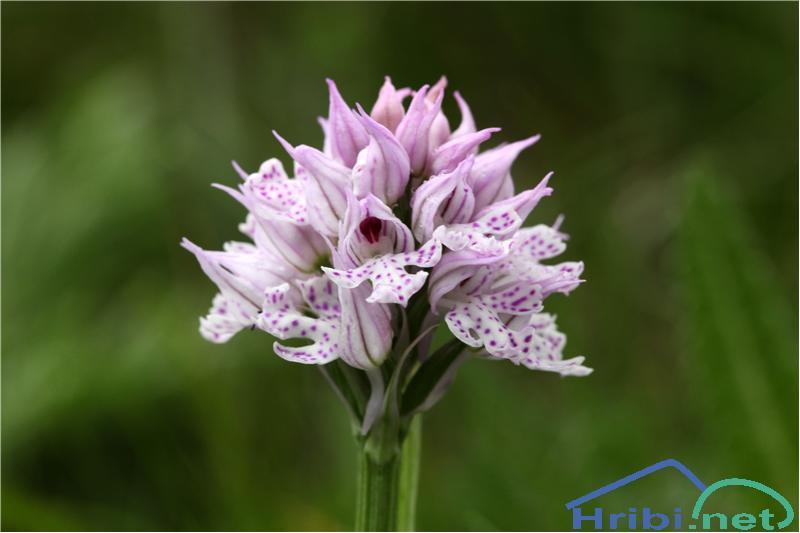 Trizoba kukavica (Orchis tridentata) - SlikaTrizoba kukavica (Orchis tridentata), foto B.C.