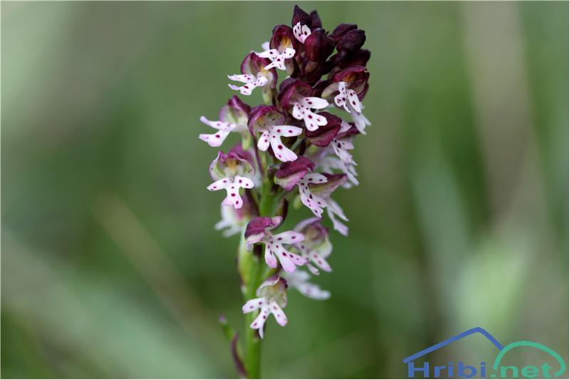 Pikastocvetna kukavica (Orchis ustulata) - PicturePikastocvetna kukavica (Orchis ustulata), foto B.C.